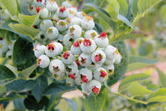 Large Cluster of Ripening Blueberries Stock Photos
