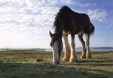 Large Clydesdale horse grazing. Clydesdale horse grazing on the banks of a lake in the late afternoon royalty free stock photography