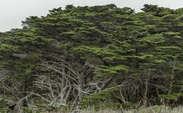 Large coastal cypress trees in Point Lobos State Reserve royalty free stock image