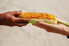 Large cob of corn on the grill. Closeup of the hand of an Indian woman passes the corn to a white girl. Asian street food. Trolley royalty free stock photos