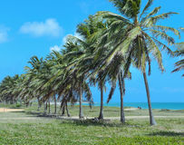 Large coconut trees in rows in front of a beautiful beach of blue waters on a sunny day. Stock Photos