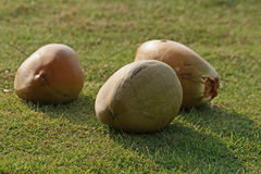 Large coconuts on the grass Royalty Free Stock Images