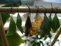 Large cocoons of butterflies on a bamboo stick Royalty Free Stock Images