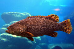 Large cod. A large rock cod swimming in water Stock Image