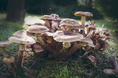 Large collection of Honey fungus (Armillaria mellea). Royalty Free Stock Photography