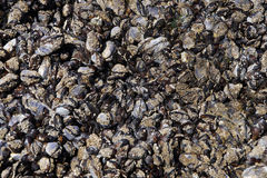 Large collection of mussels and barnacles Stock Photos