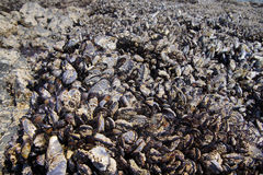 Large collection of mussels and barnacles Royalty Free Stock Photo