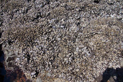 Large collection of mussels and barnacles Stock Photography