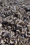 Large collection of mussels and barnacles Royalty Free Stock Photography