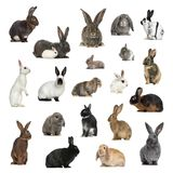 Large collection of rabbit, pet and exotic, in different positio. N, Isolated on white background Royalty Free Stock Photo