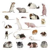 Large collection of rodent, pet and exotic, in different positio. N, Isolated on white background Stock Image