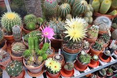Large collection of various cacti in a greenhouse. A large collection of various cacti flowering in a greenhouse stock photos