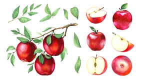 A large collection of watercolor red apples royalty free stock photography