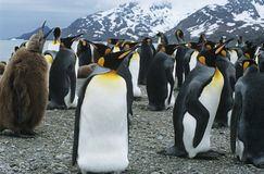 Large collony of Penguins Stock Image