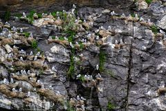 A large colony of Black-legged Kittiwake birds. Rissa tridactyla with adult birds and nestlings, on steep cliffs by the sea in Norway stock image