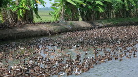 Large colony of ducks Stock Image