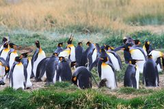 A colony of King Penguins Aptenodytes patagonicus resting in the grass at Parque Pinguino Rey, Tierra del Fuego Patagonia. A large colony of King Penguins Stock Image