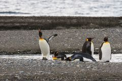 A colony of King Penguins, Aptenodytes patagonicus, resting on the beach at Parque Pinguino Rey, Tierra del Fuego Patagonia Stock Images