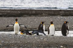 A colony of King Penguins, Aptenodytes patagonicus, resting on the beach at Parque Pinguino Rey, Tierra del Fuego Patagonia Stock Photos