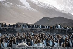 Large colony of King penguins with both adults and chicks on the beach, South Georgia, southern Atlantic Ocean stock photos