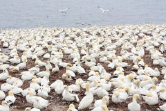 Large colony of northern gannets in Bonaventure Island (Quebec) Stock Photos