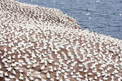 Large colony of northern gannets in Bonaventure Island (Quebec) Stock Photography