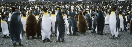 Large colony of Penguins Royalty Free Stock Photography