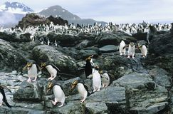 Large colony of Penguins on rocks Stock Photos