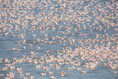 Large colony of pink flamingos in Africa Royalty Free Stock Photography
