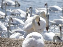Swans at the swannery waiting for feeding time Royalty Free Stock Photography
