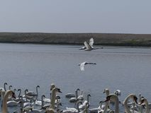 Swans at the swannery waiting for feeding time. A swan in flight passes by Stock Photos