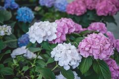 Large colorful hydrangeas on the street in the shop in the sale for a gift for the background light and light. The farmer`s marke Stock Photos