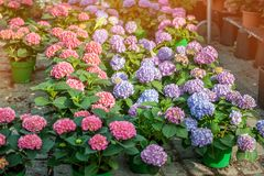 Large colorful hydrangeas on the street in the shop in the sale for a gift for the background light and light. The farmer`s marke Royalty Free Stock Images