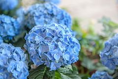 Large colorful hydrangeas on the street in the shop in the sale for a gift for the background light and light. The farmer`s marke Stock Images