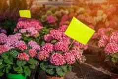 Large colorful hydrangeas on the street in the shop in the sale for a gift for the background light and light. The farmer`s marke Royalty Free Stock Photos