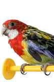 Large colorful parrot Royalty Free Stock Images