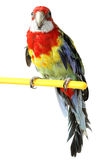 Large colorful parrot isolated Stock Photo