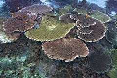 Large colorful table corals Stock Images