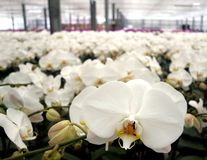 Large Commercial Orchid Farm Royalty Free Stock Photography