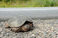 Large Common Snapping Turtle Royalty Free Stock Photos