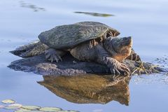 Large Common Snapping Turtle basking on a rock - Ontario, Canada. Large Common Snapping Turtle Chelydra serpentina basking on a rock - Haliburton, Ontario stock images