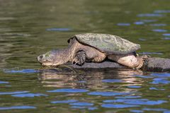 Large Common Snapping Turtle basking on a rock - Ontario, Canada. Large Common Snapping Turtle Chelydra serpentina basking on a rock - Haliburton, Ontario royalty free stock images