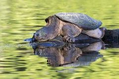 Large Common Snapping Turtle basking on a rock - Ontario, Canada. Large Common Snapping Turtle Chelydra serpentina basking on a rock - Haliburton, Ontario stock photos