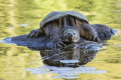 Large Common Snapping Turtle basking on a rock - Ontario, Canada. Large Common Snapping Turtle Chelydra serpentina basking on a rock - Haliburton, Ontario royalty free stock photography
