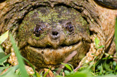 Large Common Snapping Turtle Stock Photos