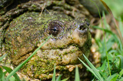 Large Common Snapping Turtle Royalty Free Stock Images