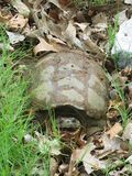 Large Common Snapping Turtle with open mouth. A Large Common Snapping Turtle hiding in the grass Stock Images