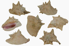 Large Conch Shell. Featuring seven different views of a large tan colored conch shell Stock Images
