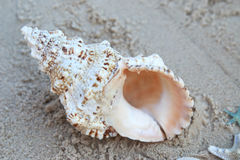 Large Conch Shell sitting on the sand. At the beach on a sunny day Royalty Free Stock Photos
