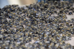 A large congestion of bees on a sheet of cardboard. Swarming of the bees. Honey bee. Stock Photos